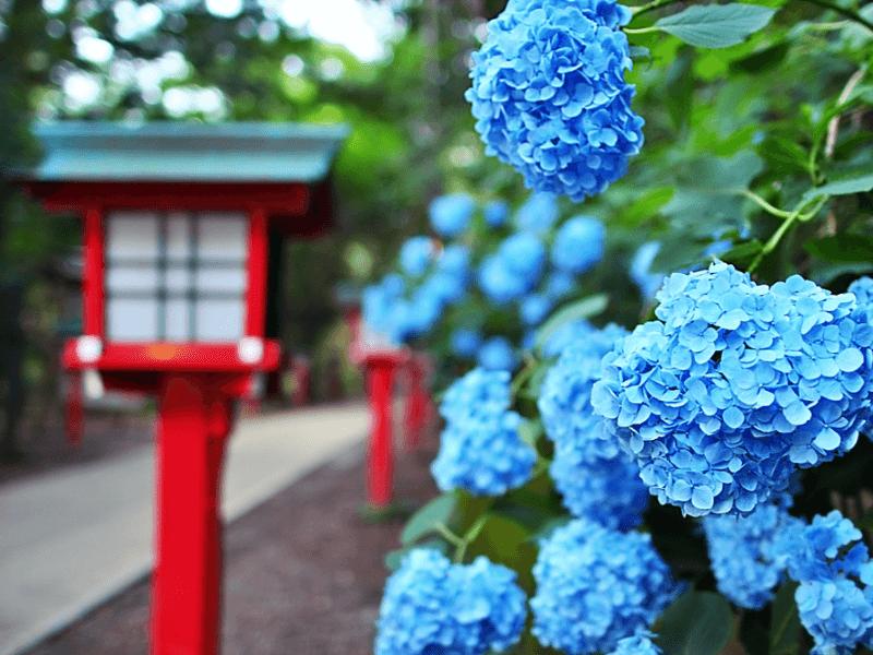 Cách trồng và chăm sóc hoa cẩm tú cầu