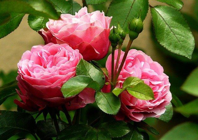 hoa đẹp làm hình nền 14