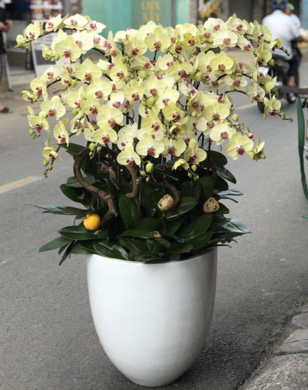 hoa lan hồ điệp lhđ 06