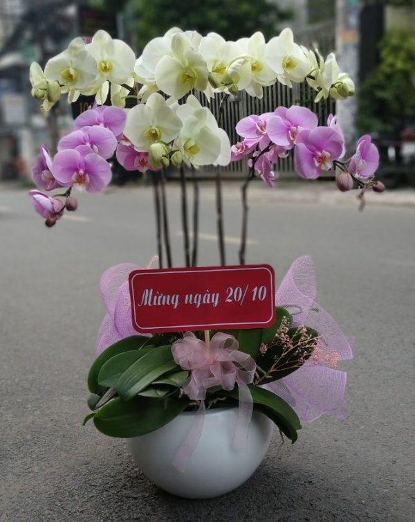 hoa lan hồ điệp lhđ 12