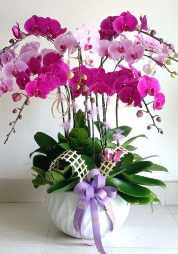 hoa lan hồ điệp lhđ 15