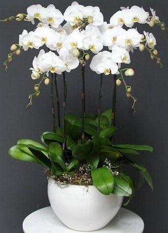 hoa lan hồ điệp lhđ 16