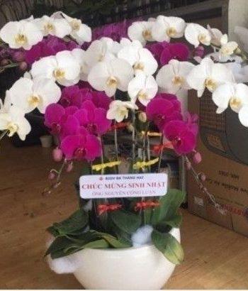hoa lan hồ điệp lhđ 17