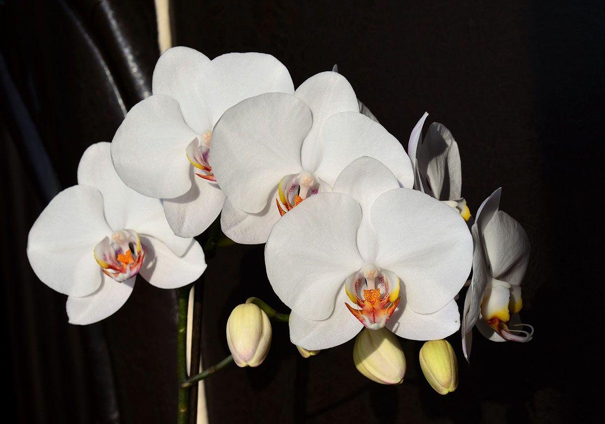 hoa lan hồ điệp