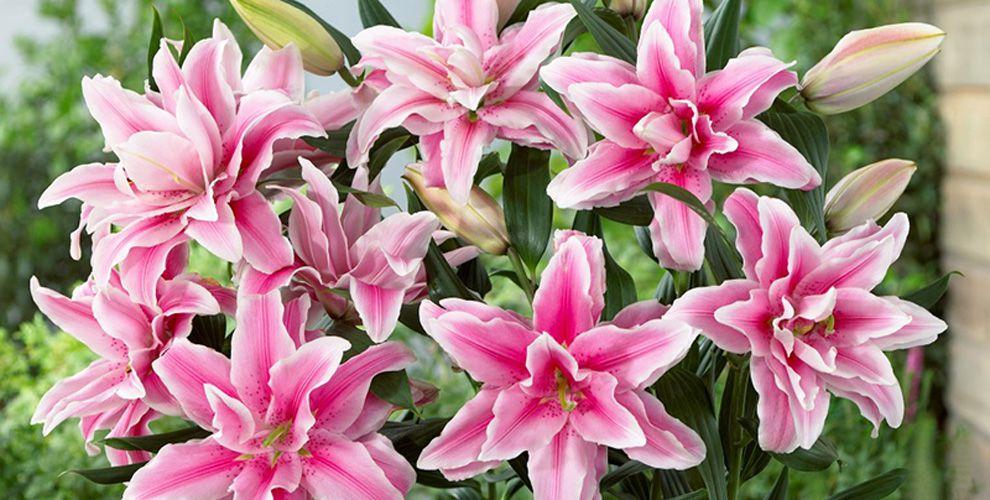 hoa lily kép