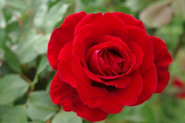 hoa màu đỏ 1