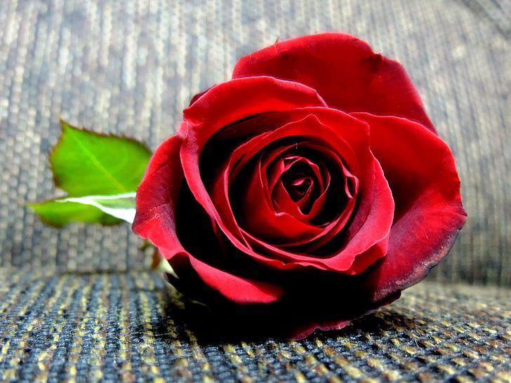 hoa màu đỏ 10