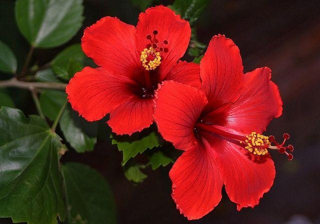 hoa màu đỏ 2