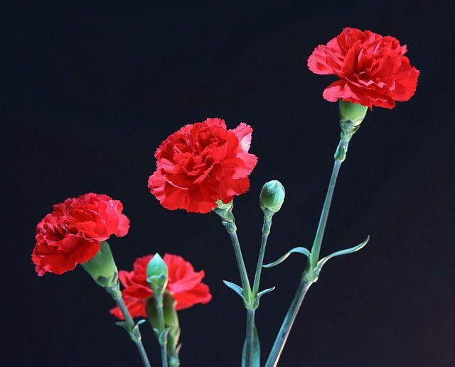 hoa màu đỏ 4