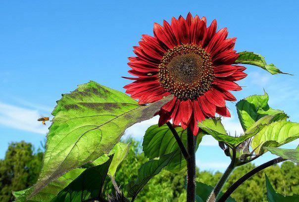 hoa màu đỏ 5