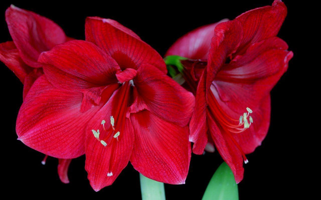 hoa màu đỏ 6