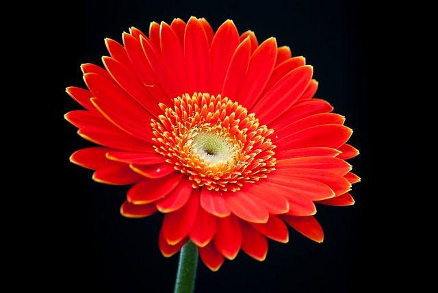 hoa màu đỏ 8