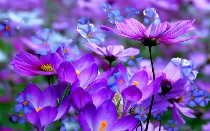 hoa màu tím 1