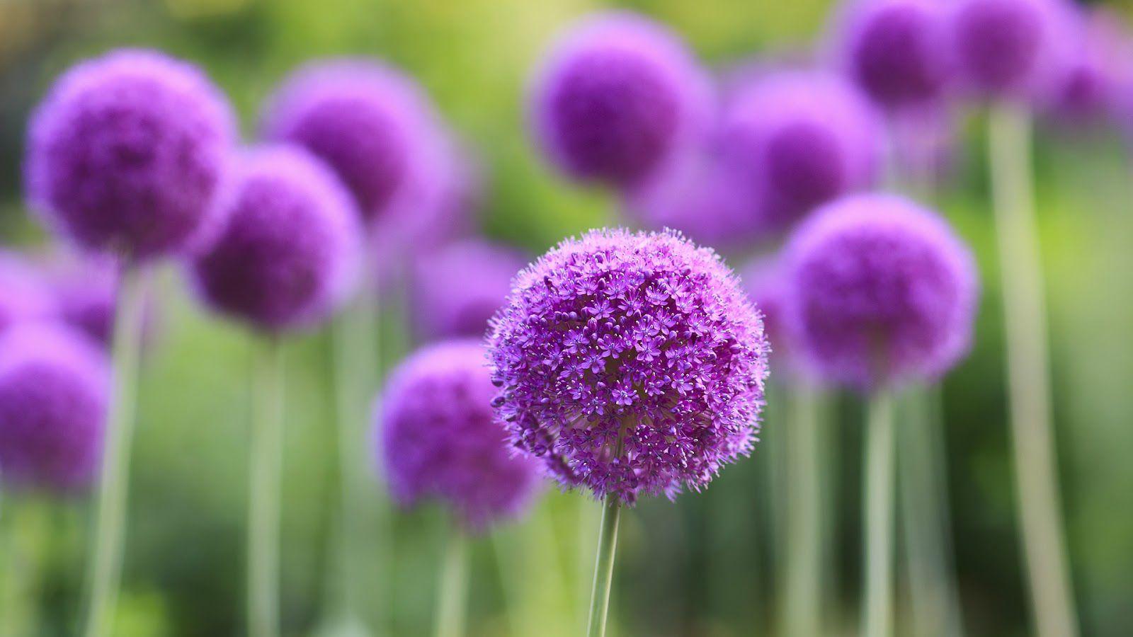 hoa màu tím 4