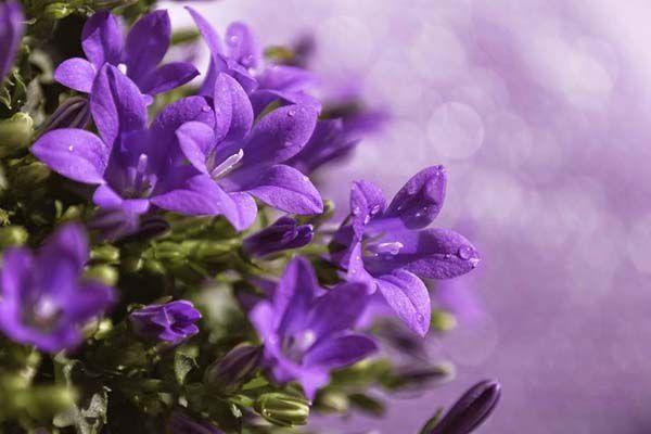 hoa màu tím 6