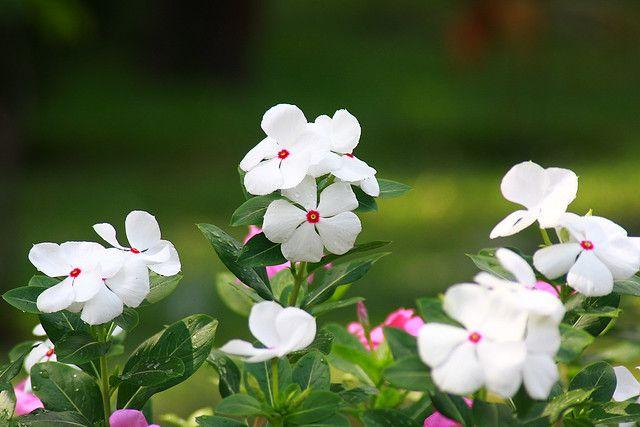 hoa màu trắng 10