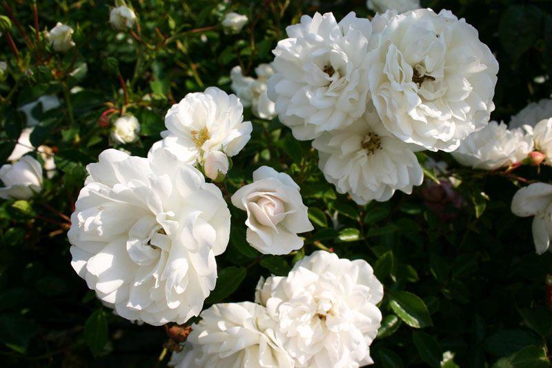 hoa màu trắng 11