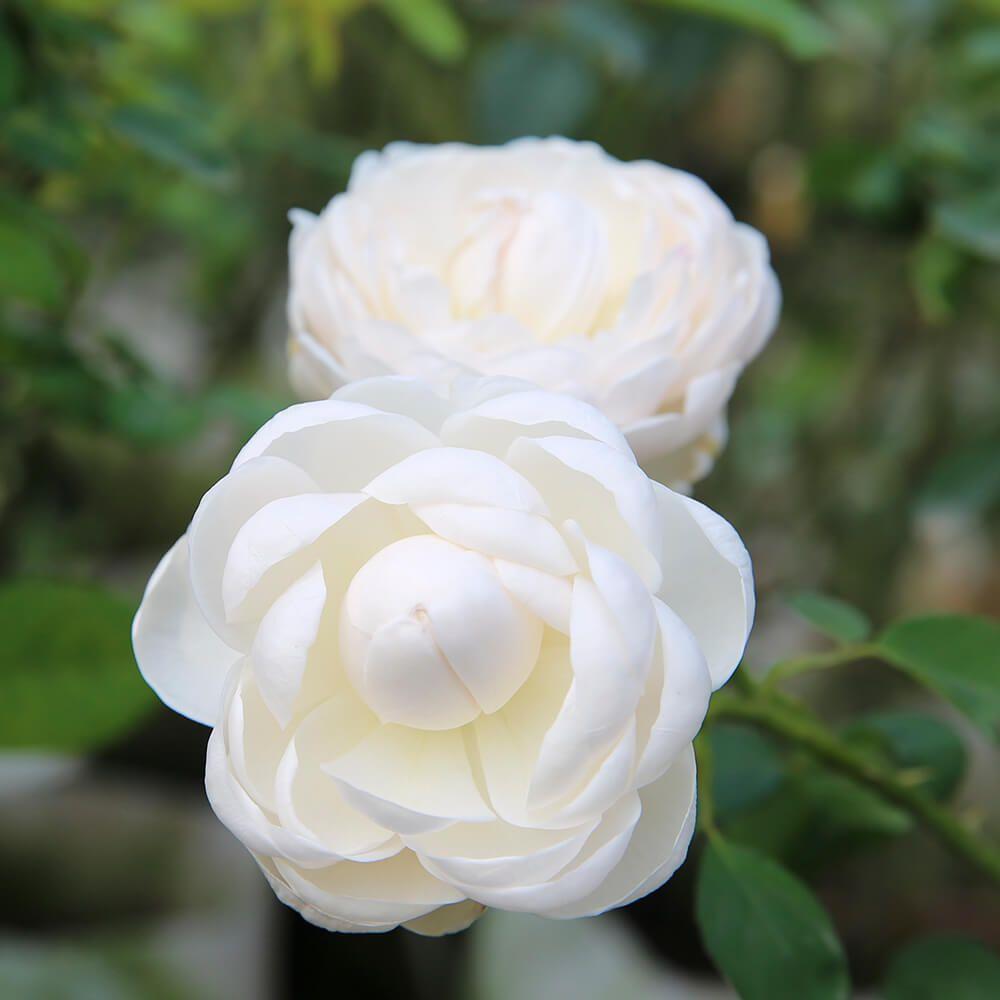 hoa màu trắng 12