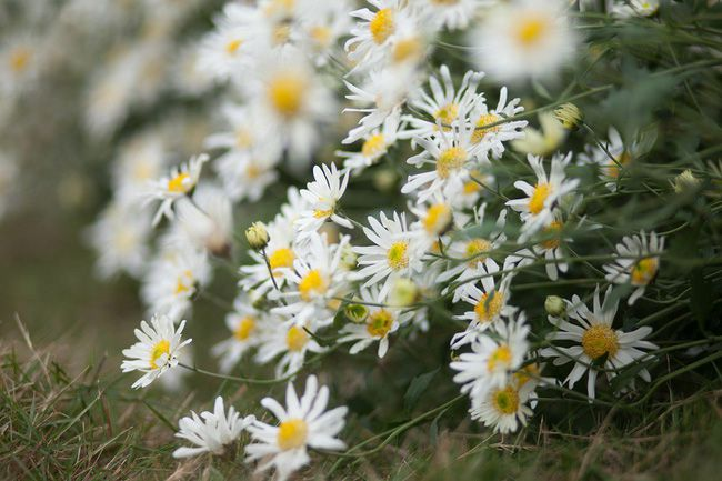 hoa màu trắng 4