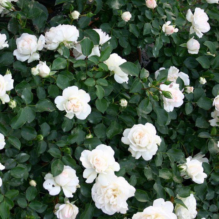 hoa màu trắng 7