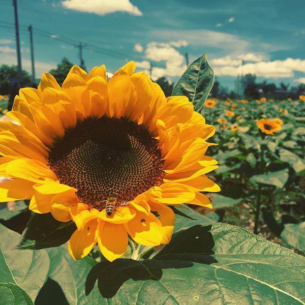 hoa màu vàng 3