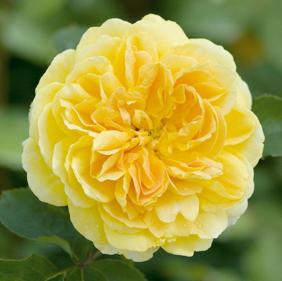 hoa màu vàng 5