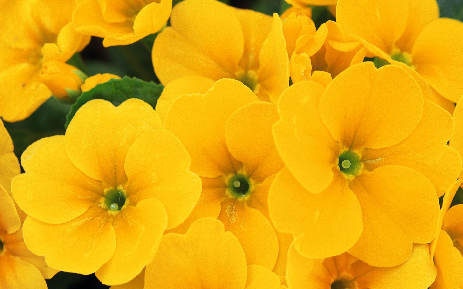 hoa màu vàng 8