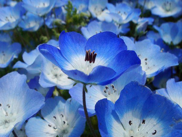 hoa màu xanh 10