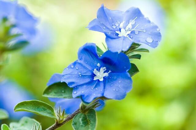hoa màu xanh 3