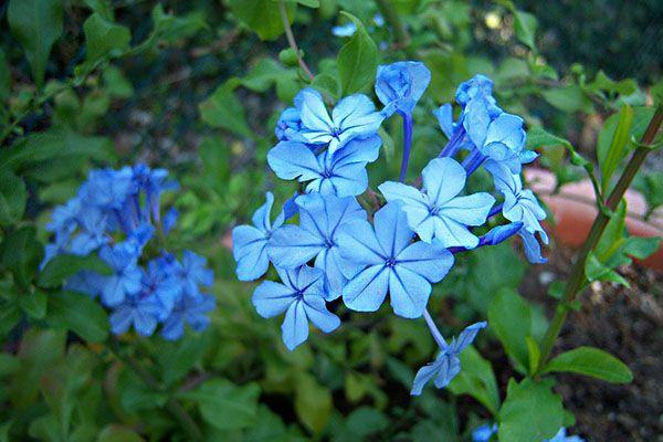 hoa màu xanh 4