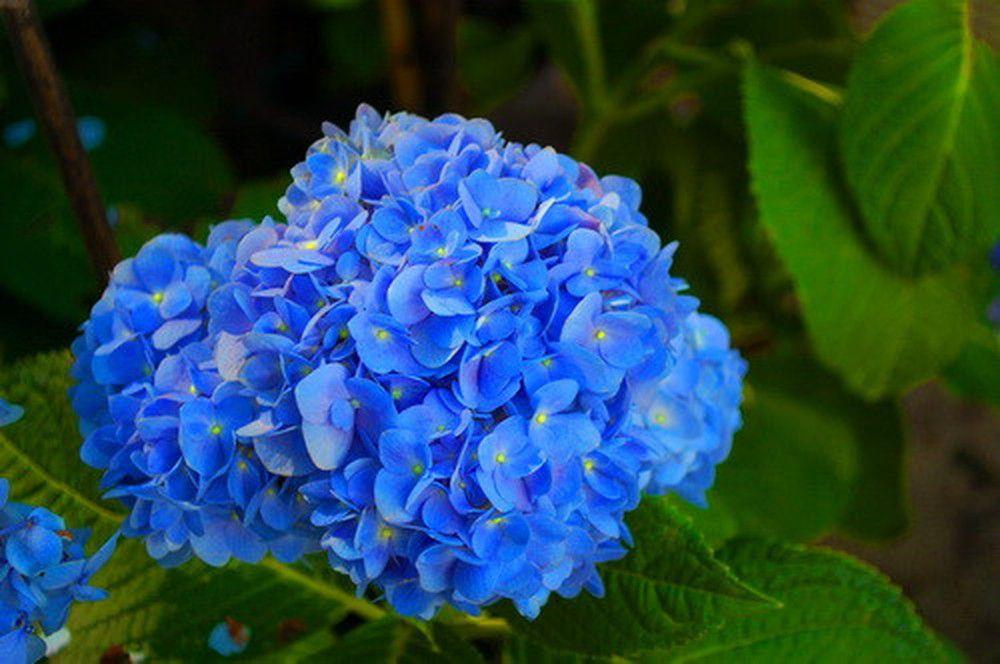 hoa màu xanh 5