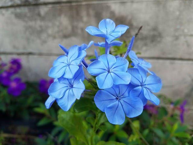 hoa màu xanh 7