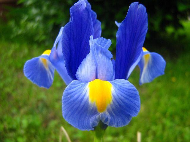hoa màu xanh 8