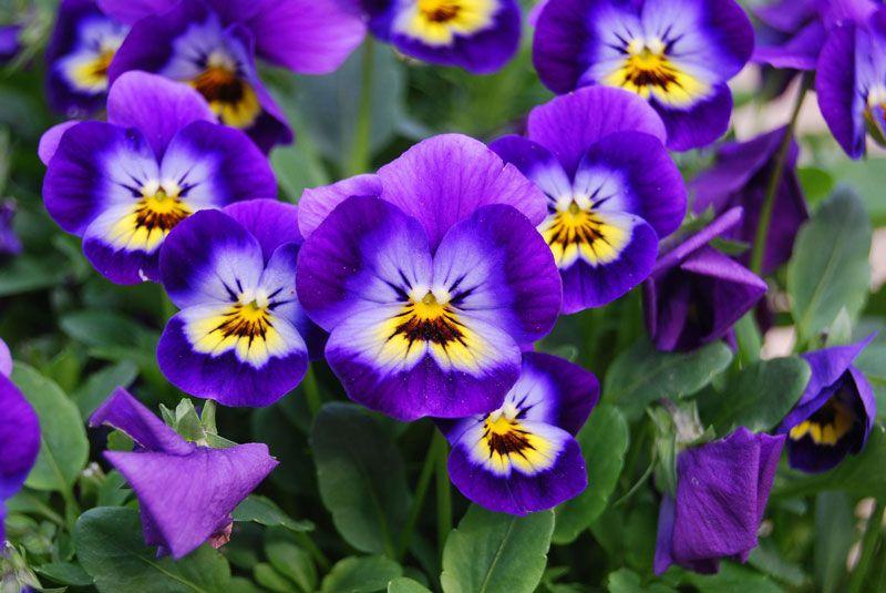 hoa păng xê