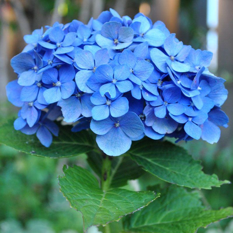 Nguồn gốc và đặc điểm của hoa cẩm tú cầu