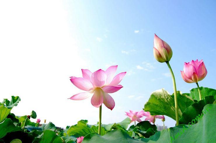 các loại hoa sen được trồng phổ biến tại việt nam