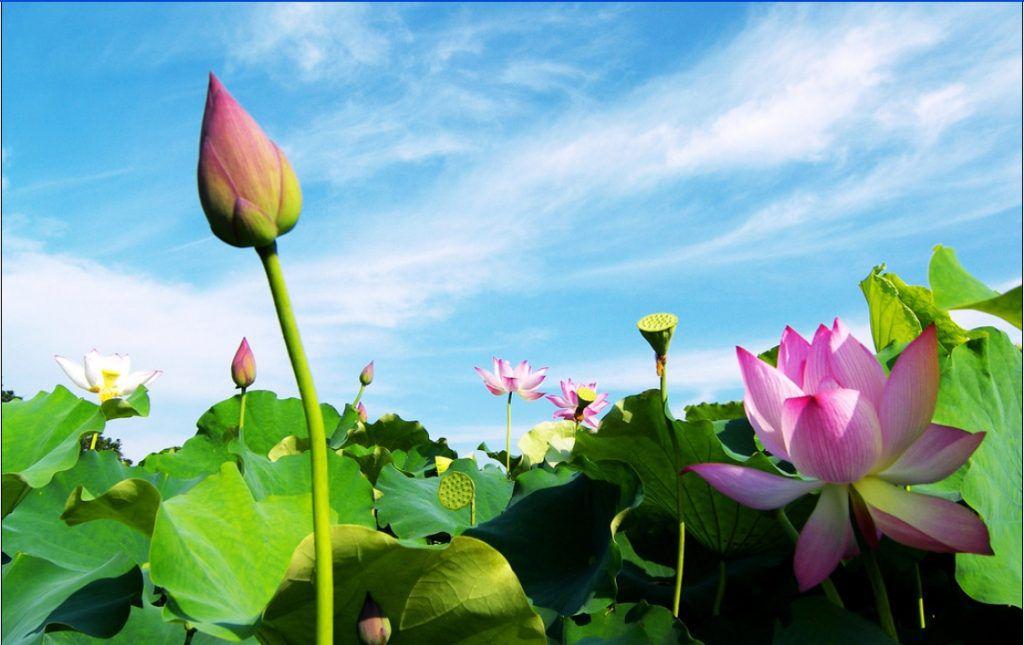 cách trồng và chăm sóc hoa sen