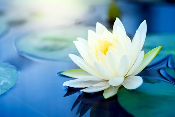 hình ảnh hoa sen đẹp nhất 1