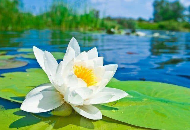 hình ảnh hoa sen đẹp nhất 3