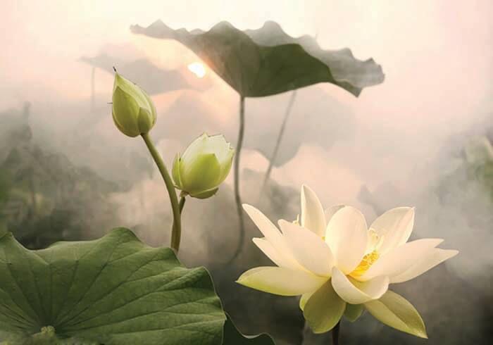 hình ảnh hoa sen đẹp nhất 4