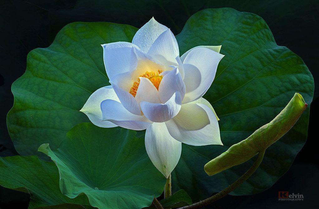 hình ảnh hoa sen đẹp nhất 6