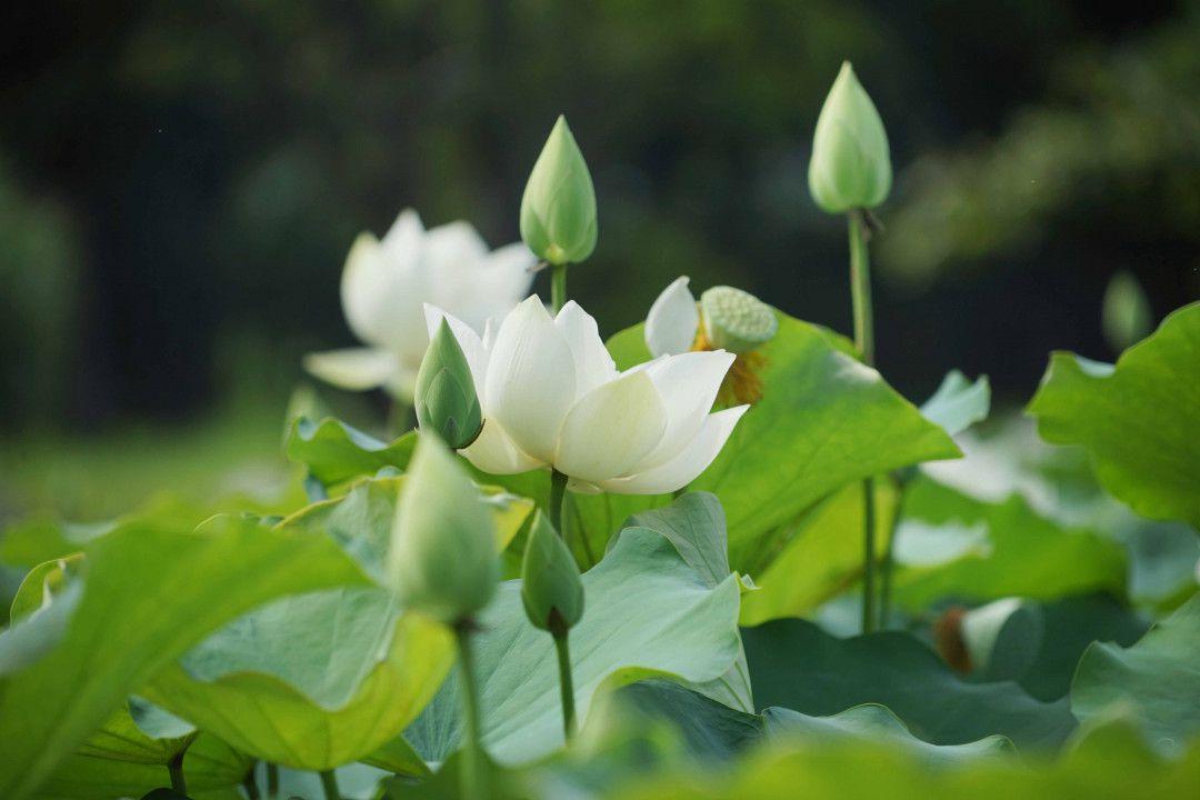 hình ảnh hoa sen đẹp nhất 7