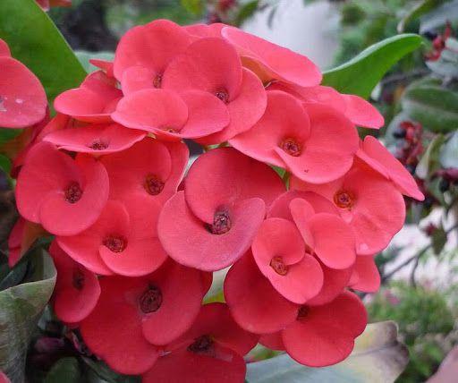hoa xương rồng bát tiên