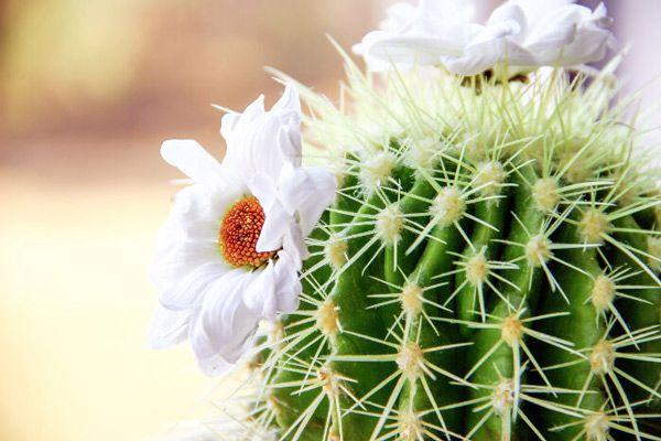 hoa xương rồng là biểu tượng của quốc gia nào