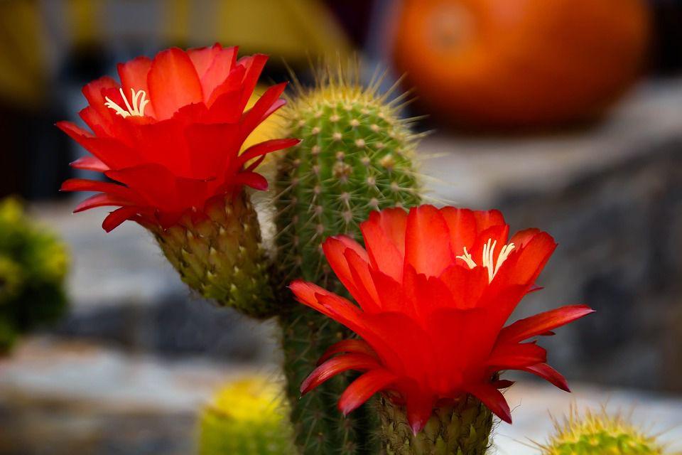 hoa xương rồng màu đỏ 1