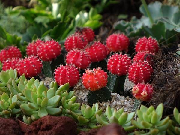 hoa xương rồng màu đỏ 4