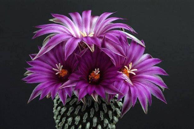 hoa xương rồng màu tím 3