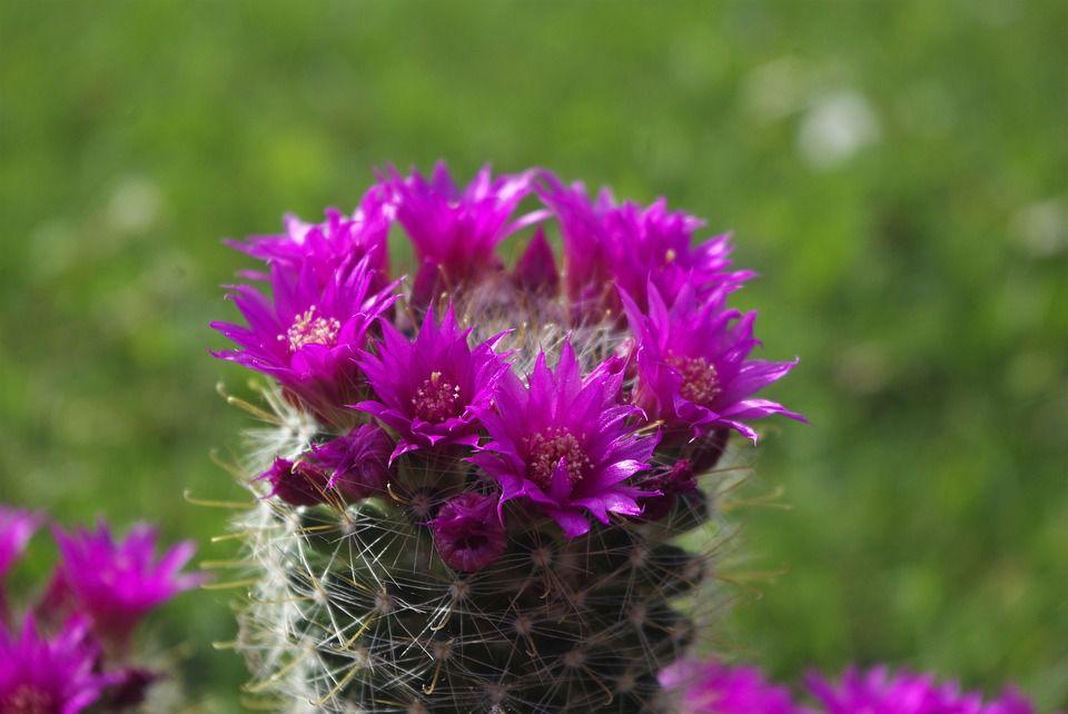 hoa xương rồng màu tím 5