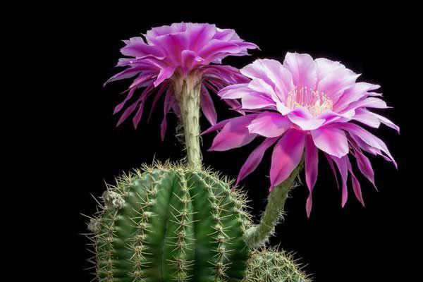 hoa xương rồng màu tím 6