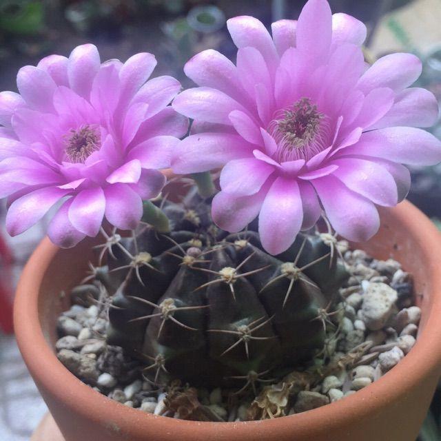 hoa xương rồng màu tím 7